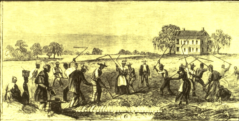 Gang of men and women at work; plantation house in background.