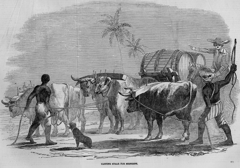 Carters with oxen teams and hogsheads of sugar to be shipped. Image accompanies article, Sugar Cultivation in the West Indies.  Although about a decade after slave emancipation in the British West Indies, this scene (one of four in the article) can easily serve for the later slave period. This same illustration and accompanying article appeared in Ballou's Pictorial (Boston); however, the Ballou article specifies that the locale is Jamaica and that the engraving was made from the designs of an artist who resided for a long time in that island.
