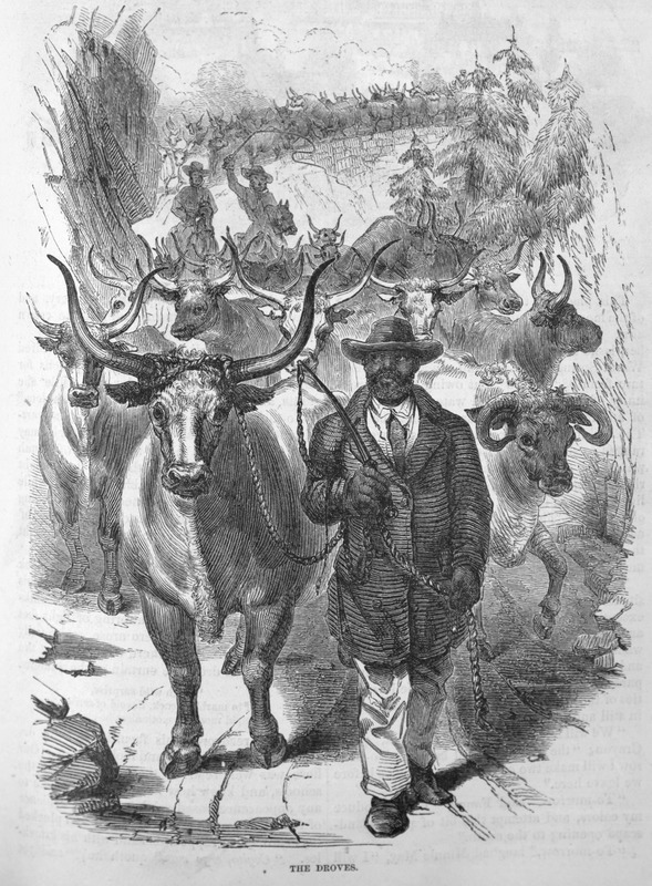 This image depicts a man driving a herd of cattle in Virginia. Harper's Magazine (also called Harper's) is a monthly magazine of literature, politics, culture, finance and the arts.