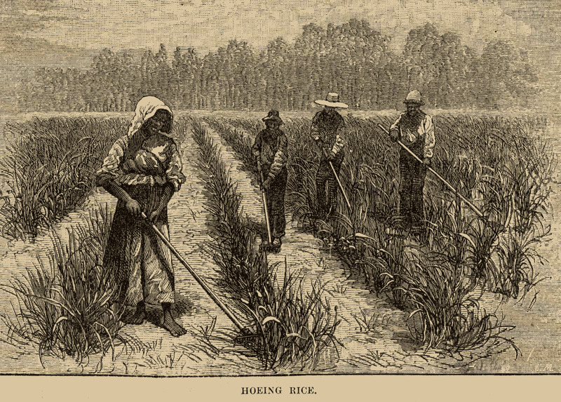 A gang of men and women with long-handled hoes.